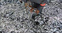 Beykoz açıklarında 10 gün boyunca hamsi avı yasaklandı