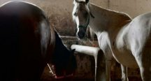Atların sorumluluğu Bakanlık ve Dörtyol Belediyesi'nde