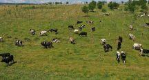 Yem desteği İBB'den halk süt üreticiden